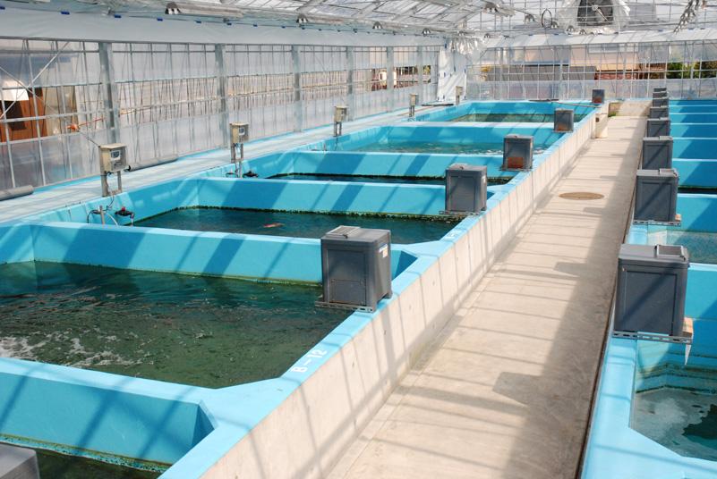 Koi breeder infomation koi japanese for Top japanese koi breeders